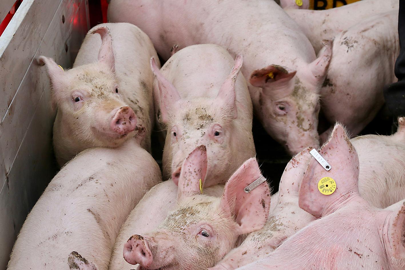 slachtbiggen-varkens-biggen